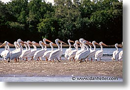estuary, horizontal, latin america, mexico, pelicans, white, photograph