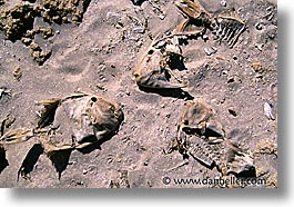 bones, fish, horizontal, latin america, mexico, mulege, photograph