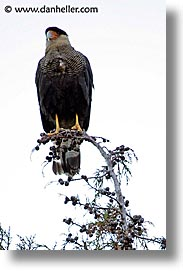 animals, birds, latin america, patagonia, vertical, photograph