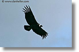 animals, birds, condor, flight, horizontal, latin america, patagonia, photograph
