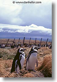 animals, birds, colony, latin america, patagonia, penguins, vertical, photograph