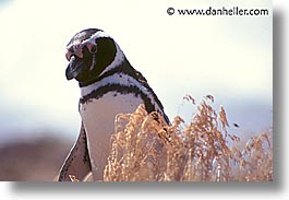 animals, birds, horizontal, latin america, patagonia, penguins, photograph