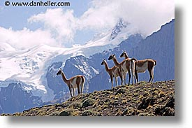 animals, guanaco, horizontal, latin america, pack, patagonia, photograph
