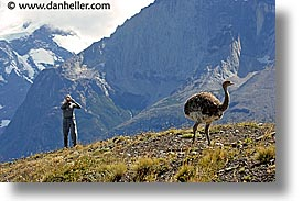 animals, cameras, horizontal, latin america, lesser rhea, patagonia, photographers, rhea, shooting, vic, photograph