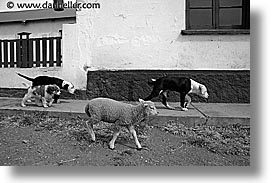 animals, black and white, dogs, horizontal, latin america, patagonia, sheep, photograph