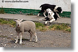animals, dogs, horizontal, latin america, patagonia, sheep, photograph