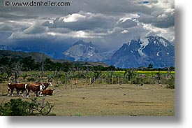 cows, horizontal, latin america, mountains, patagonia, torres del paine, photograph