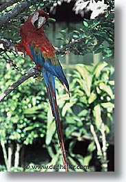 amazon, birds, jungle, latin america, macaws, peru, rivers, vertical, photograph