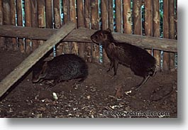 agouti, amazon, horizontal, jungle, latin america, peru, rivers, photograph