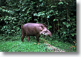 amazon, horizontal, jungle, latin america, peru, rivers, tapir, photograph
