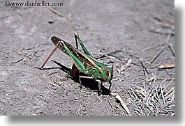 auckland, grasshopper, horizontal, insects, new zealand, photograph