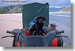black lab, dogs, horizontal, new zealand, puppies, photograph