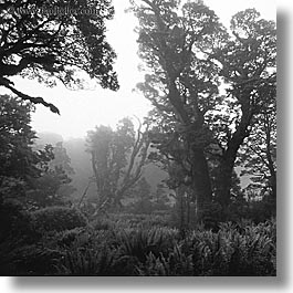 black and white, new zealand, routeburn, square format, woods, photograph