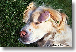 animals, dogs, flowers, horizontal, sam, sammy, sleep, photograph
