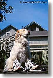 animals, dogs, running, sam, sammy, shoes, vertical, photograph