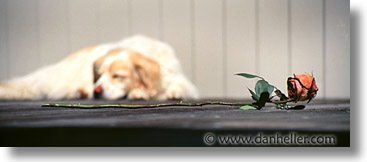 animals, dogs, horizontal, panoramic, roses, sammy, photograph