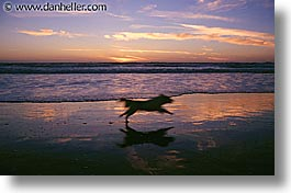 animals, dogs, horizontal, running, sammy, sunsets, photograph
