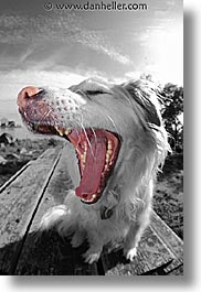 animals, black and white, dogs, sammy, vertical, yawn, photograph