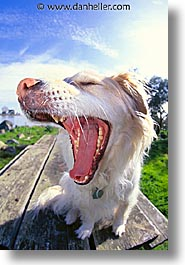 animals, dogs, sammy, vertical, yawn, photograph