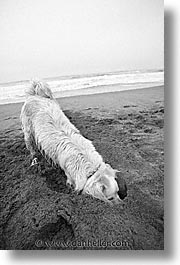animals, beach dogs, black and white, canine, digger, dogs, vertical, photograph