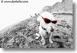 animals, beach dogs, canine, color composite, color/bw composite, dogs, glasses, horizontal, photograph