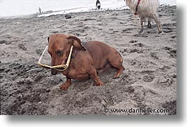 animals, beach dogs, canine, dogs, glasses, horizontal, photograph
