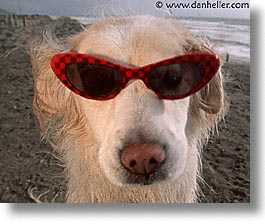 animals, beach dogs, canine, dogs, glasses, horizontal, sammy, photograph