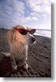 animals, beach dogs, canine, dogs, glasses, sammy, vertical, photograph