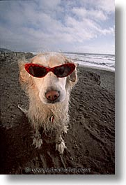 animals, beach dogs, canine, dogs, glasses, red, sammy, vertical, photograph