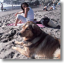 animals, beach dogs, canine, dogs, owners, pals, square format, photograph