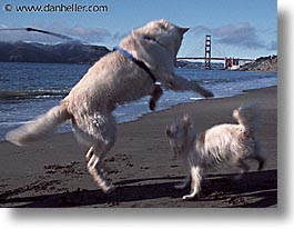 animals, beach dogs, canine, dogs, horizontal, playing, photograph