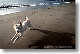 animals, beach dogs, canine, dogs, horizontal, running, photograph