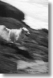 animals, beach dogs, black and white, canine, dogs, running, vertical, photograph