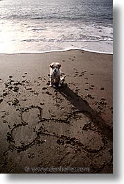 animals, beach dogs, canine, dogs, sammy, vertical, photograph