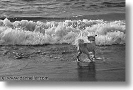 animals, beach dogs, black and white, canine, dogs, horizontal, sammy, photograph