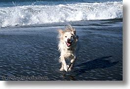 animals, beach dogs, canine, dogs, horizontal, sammy, waves, photograph