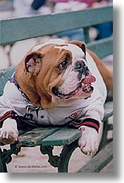 animals, bulldogs, canine, dogs, vertical, photograph