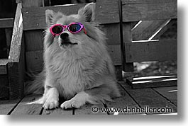 animals, black and white, canine, colors, dogs, glasses, horizontal, pink, photograph