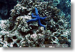 blues, horizontal, palau, starfish, tropics, underwater, photograph