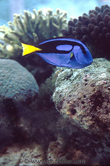 What class of fish is dori from finding nemo for What kind of fish is nemo
