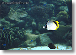 horizontal, palau, tropics, underwater, yellowfish, photograph