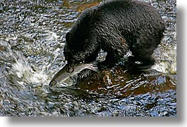 alaska, america, bears, black, black bears, catching, fish, horizontal, north america, rivers, salmon, united states, photograph