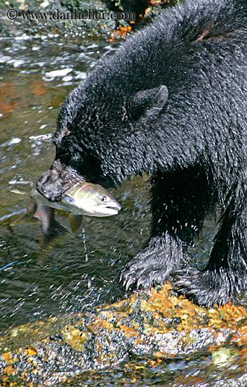 North State Auto >> Black Bear Catching Salmon (6)