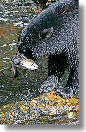 alaska, america, bears, black, black bears, catching, fish, north america, rivers, salmon, united states, vertical, photograph