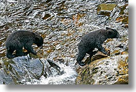 alaska, america, bears, black, black bears, cubs, horizontal, north america, rivers, united states, photograph