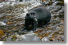 alaska, america, bears, black, black bears, horizontal, north america, rivers, united states, water, photograph