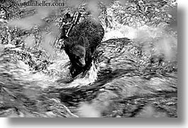 alaska, america, bears, black, black and white, black bears, horizontal, north america, rivers, united states, water, photograph