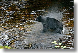alaska, america, bears, black, black bears, dry, horizontal, north america, rivers, spin, united states, photograph