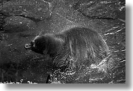 alaska, america, bears, black, black and white, black bears, dry, horizontal, north america, rivers, spin, united states, photograph