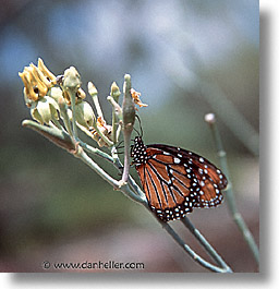 america, arizona, butterflies, desert southwest, milkweed, north america, square format, tucson, united states, western usa, photograph